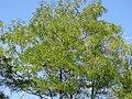Robinia pseudoacacia - Bagrem (1), Niš, Srbija.jpg