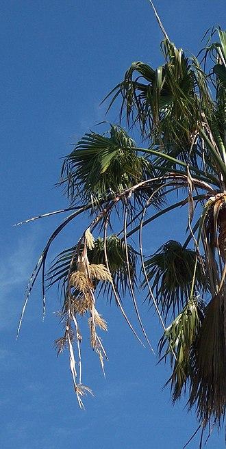 Washingtonia robusta - Image: Robustaflowers