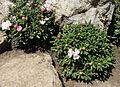 Rododendr.jpg