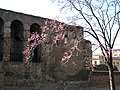 Rome, flowering tree near old city wall - panoramio.jpg