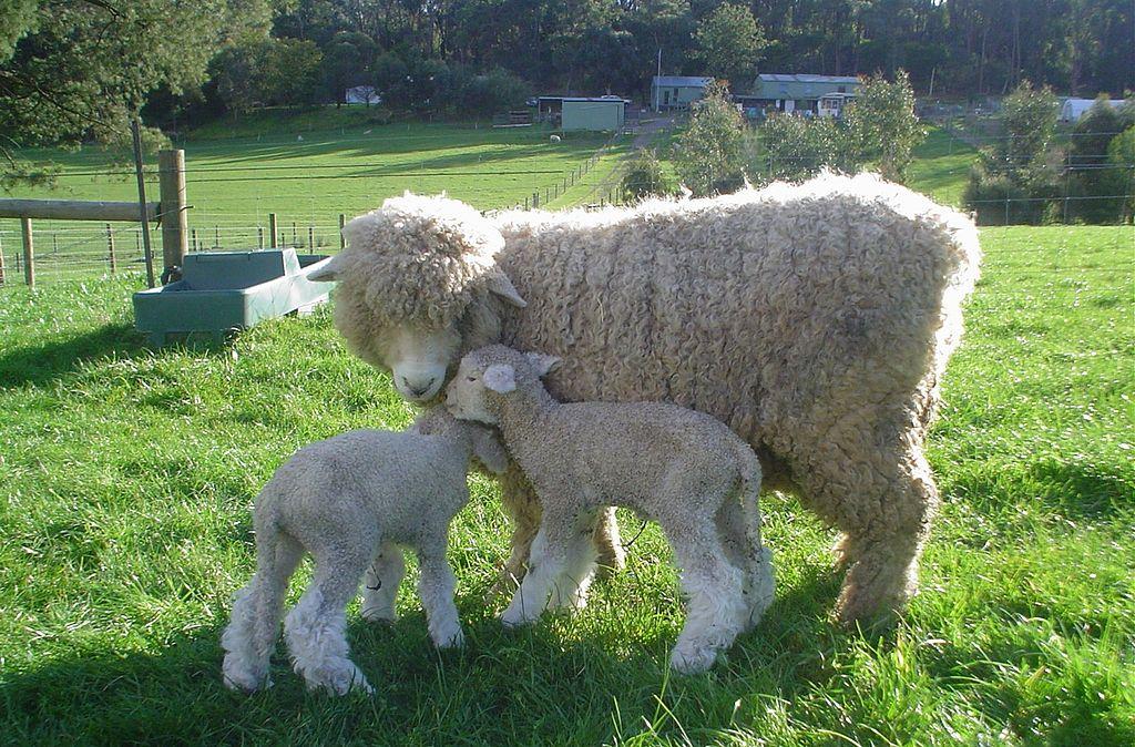 Novi Zeland 1024px-Romney_Ewe_and_Lamb