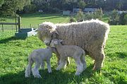 A Romney ewe with her two lambs