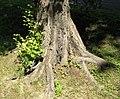 Root swelling ulmus glabra beentree.jpg