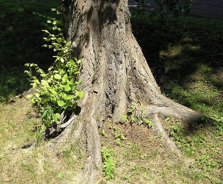 tronc et racines