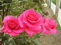 Planta rosa for Tres plantas ornamentales