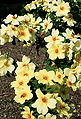 Rosa 'Fruhlingsgold'.jpg