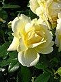 Rosa 'Sunstar' 02.jpg