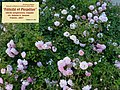 """Rosa """"Félicité et Perpétue"""". 05.jpg"""