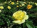 Rosa Arthur Bell 2019-05-29 4125.jpg