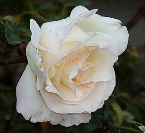 Rosa 'Garden Party' - Image: Rosa Garden Party
