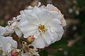 Rosa Penelope - Gran Bretaña (11982535464).jpg