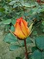 Rosa Rosemary Harkness 2019-05-29 4070.jpg