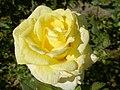 Rosa amarela (217201398).jpg