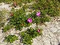 Rosa rugosa Curonian Spit 01.jpg
