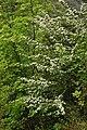 Rosaceae - Crataegus monogyna (8304679600).jpg