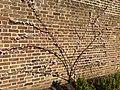 Rosales - Prunus dulcis 'Ingrid' - 1.jpg
