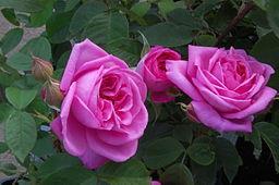 Rose 'Gertrude Jekyll' 01