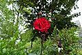 Rose @ Square d'Alleray Labrouste-Saint-Amand @ Paris (34798880095).jpg