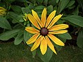 Rudbeckia from Lalbagh flower show Aug 2013 8279.JPG