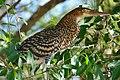 Rufescent Tiger-heron (Tigrisoma lineatum) immature - Flickr - berniedup.jpg