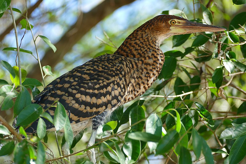 Fichier:Rufescent Tiger-heron (Tigrisoma lineatum) immature - Flickr - berniedup.jpg