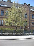 Ruhland, Dresdener Str. 9, Einheits-Hainbuche vor Geschwister-Scholl-Schule, Südostansicht, Frühling, 01.jpg