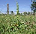 Rumex crispus plant1 (14901200417).jpg