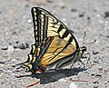 SWALLOWTAIL, CANADIAN (Papiliocanadensis) (6-4-2015) essex co, vt -01 (17847693774).jpg