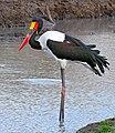 Saddle-billed Stork (Epphippiorhynchus senegalensis) male (33019257601).jpg