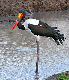 Saddle-billed Stork (Epphippiorhynchus senegalensis) male (33019257601).jpg