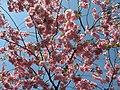 Saint Petersburg. Chinese Garden. Sakura tree2021 01.jpg