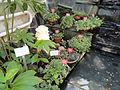 Saintpaulia sp. - Botanical Garden in Kaisaniemi, Helsinki - DSC03654.JPG