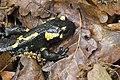 Salamandra salamandra, Srbija (38).jpg