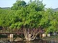 Salix chaenomeloides 02.JPG