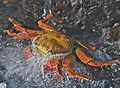 Sally Lightfoot Crab (4107042513).jpg