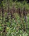 Salviasonomensis2.jpg