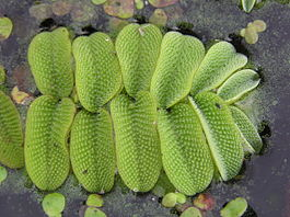 Salvinia natans (leaves).jpg