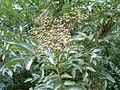 Sambucus nigra green fruit.jpg