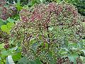 Sambucus nigra ssp canadensis SCA-04391.jpg