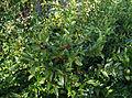Sarcococca hookeriana humilis.jpg