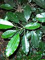 Sarcomelicope simplicifolia leaves.jpg