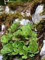 Saxifraga cuneifolia 2 BOGA.jpg