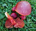 Scarlet Waxcap. Hygrocybe coccinea (49055263017).jpg