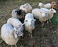 Schafe Ziegram.jpg
