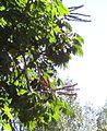 Schefflera actinophylla, bloeiwyses, KwaZulu-Natal NBT.jpg