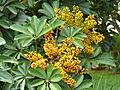 Schefflera arboricola, vrugte, b, Pretoria.jpg