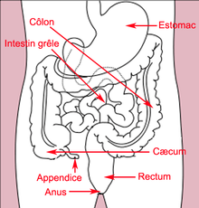 schema estomac humain