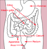 Schema intestin.png