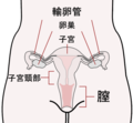 Scheme female reproductive system-ja.PNG