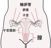 Scheme female reproductive system-ja.PNG